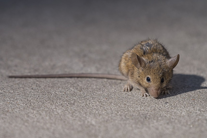 2560px-NYC_Brown_Rat
