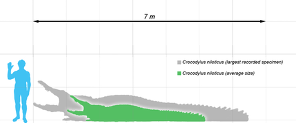 Crocodylus_nile_scale