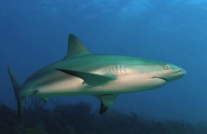 Sharks Clearlyexplained Com
