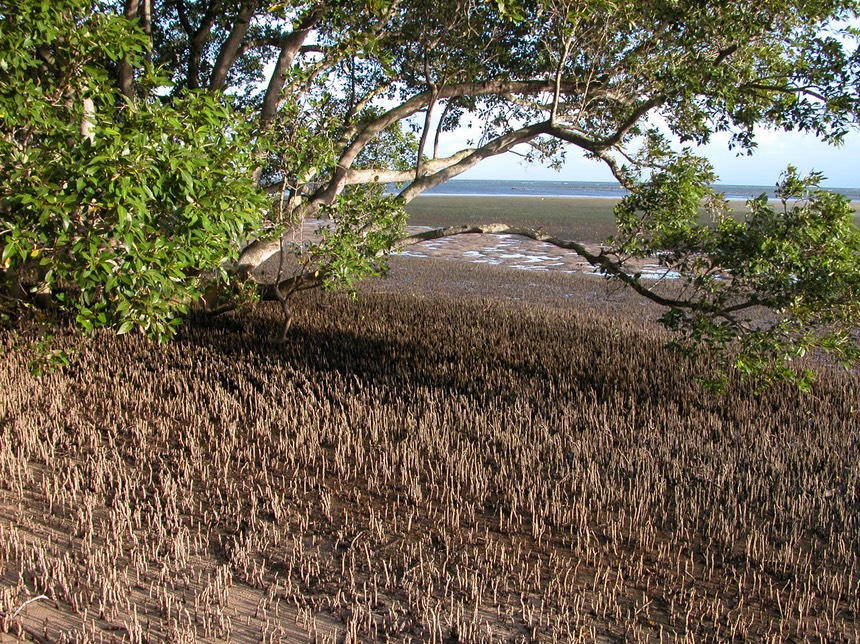 Mangrove_and_pneumatophores_in_Moreton_Bay,_Qld