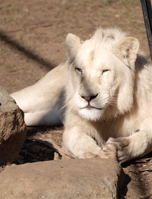 image of a white lion