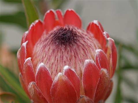 picture of a Protea Flower