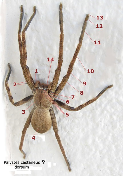 Palystes_castaneus_female_dorsum_numbered