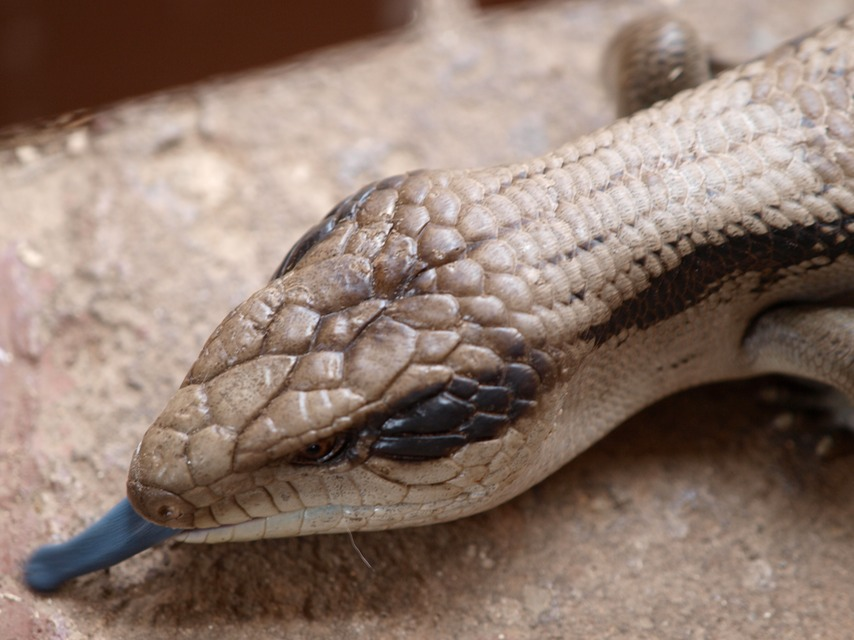 A blue tongued lizard or skink, most likely a blotched blue-tongued lizard (Tiliqua nigrolutea). image picture