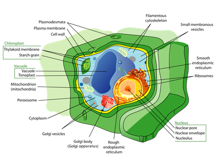 Plant_cell_structure_svg.svg