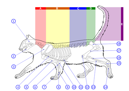 Skeleton_diagram_of_a_cat.svg